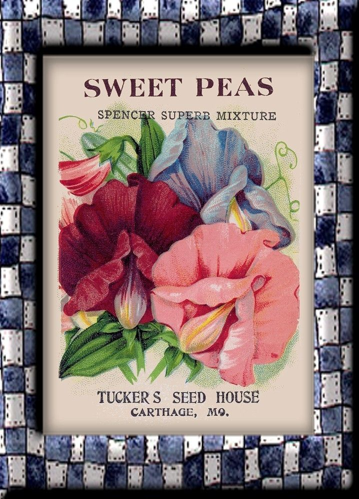 718x996 How to draw a sweet pea flower Sweet Peas Flower Packet
