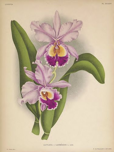 375x500 192 Best Orchid Illustrations Images On Botanical