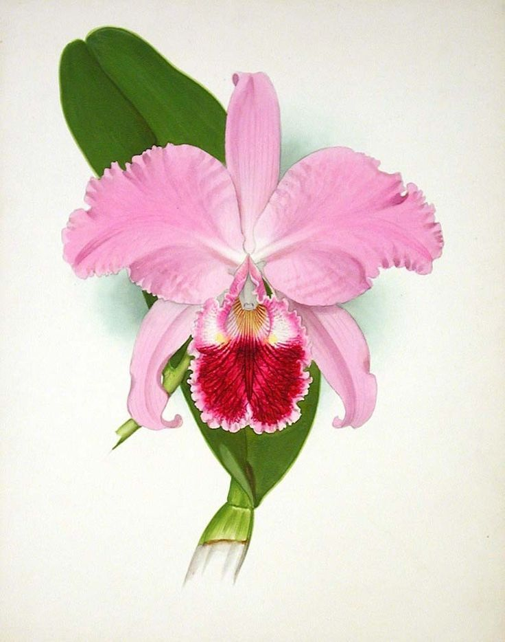 736x934 26 Best Cattleya Trianae Tattoo Images On Lilies
