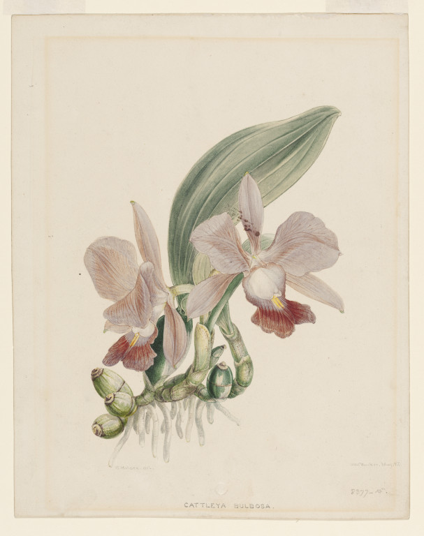607x768 Orchid Holden, Samuel Vampa Search The Collections