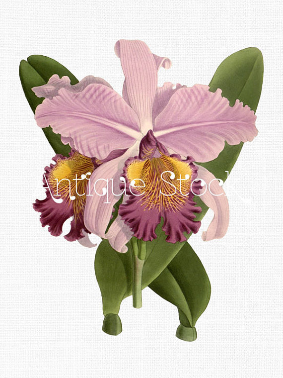 570x760 Orchid Old Image
