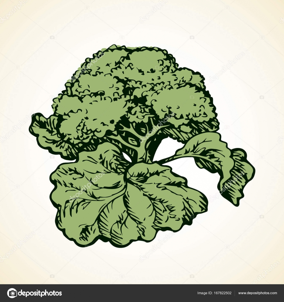 Cauliflower Drawing at GetDrawings com | Free for personal