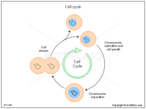 Cell division drawing at getdrawings free for personal use 500x375 cell cycle illustrations ccuart Choice Image