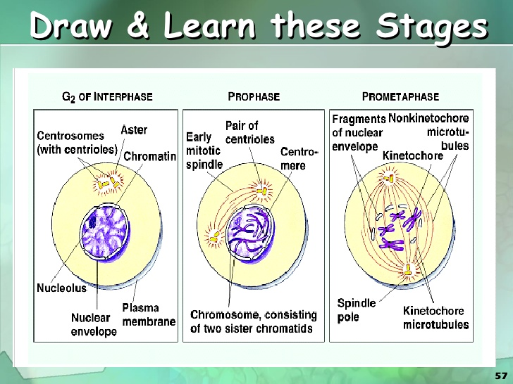 Cell Division Drawing At Getdrawings Com