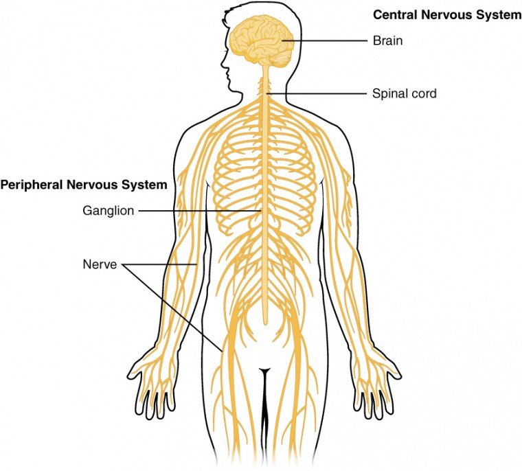 Central nervous system drawing at getdrawings free for 760x686 basic structure and function of the nervous system anatomy and ccuart Choice Image