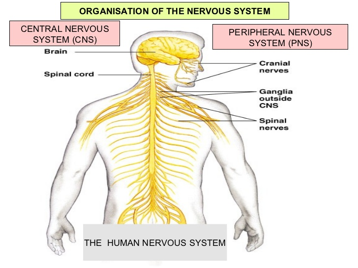 Central Nervous System Drawing At Getdrawings Free For