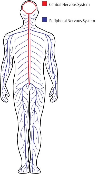 central nervous system drawing at getdrawingscom free