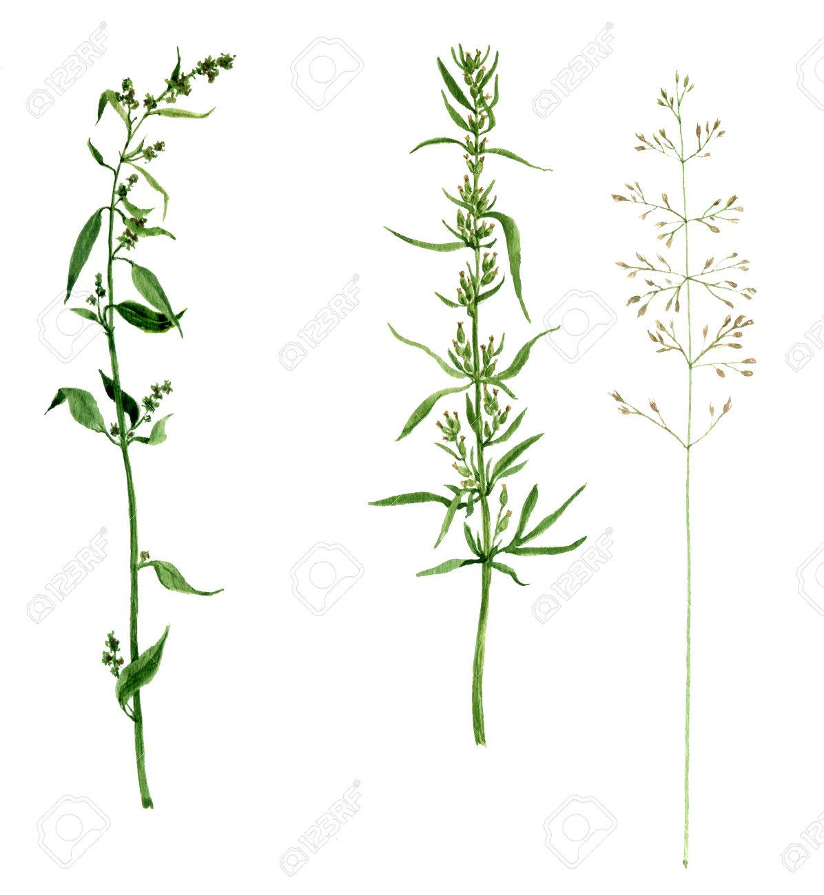 1196x1300 Set Of Watercolor Drawing Wild Flowers And Cereal Herbs, Isolated