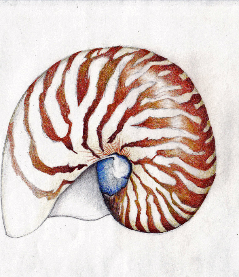 830x962 Nautilus Shell By Ice Wolf Elemental