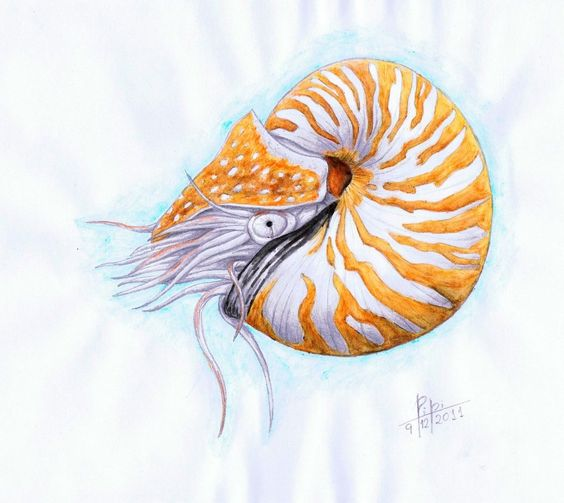 564x503 Nautiluses Are An Order Of Cephalopods That Live Between 100