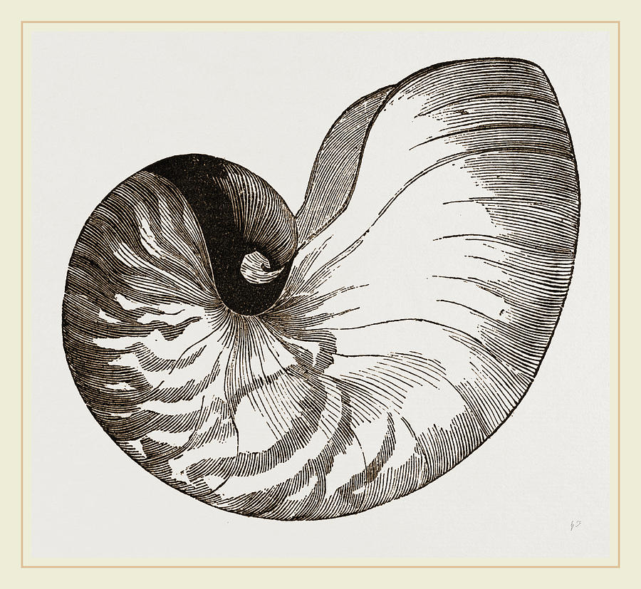 900x827 Shell Of Pearly Nautilus Drawing By Litz Collection
