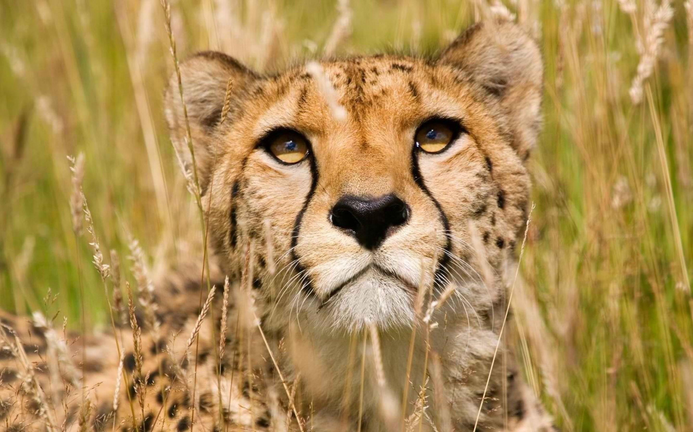 2880x1800 Cheetah Face