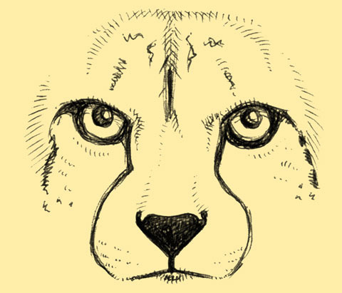 480x411 Face Of A Cheetah The Beautiful Face Of The Fastest