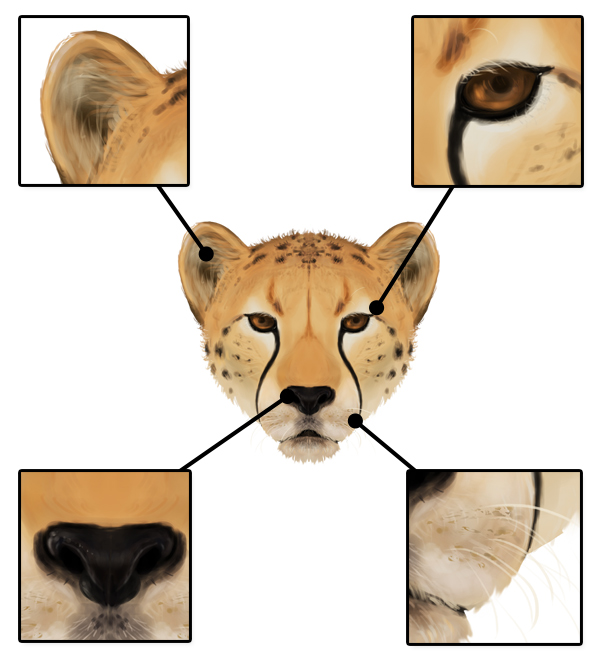 600x659 How To Draw Animals Big Cats, Their Anatomy And Patterns