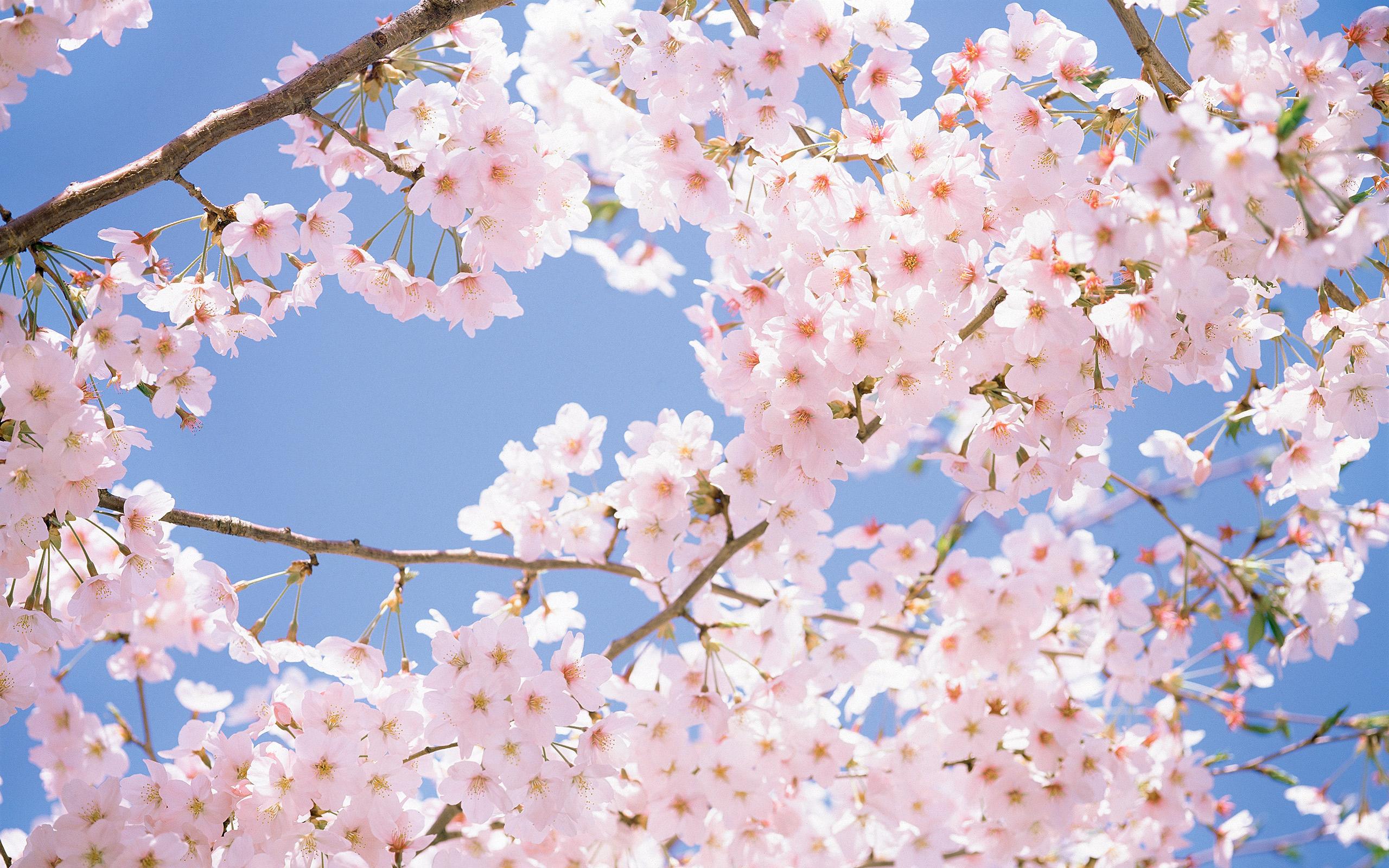 2560x1600 Stunning Cherry Blossom