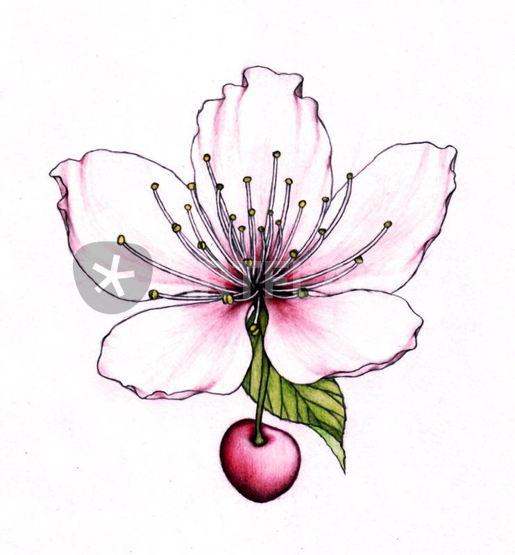 cherry blossom pencil drawing at getdrawings com free for personal