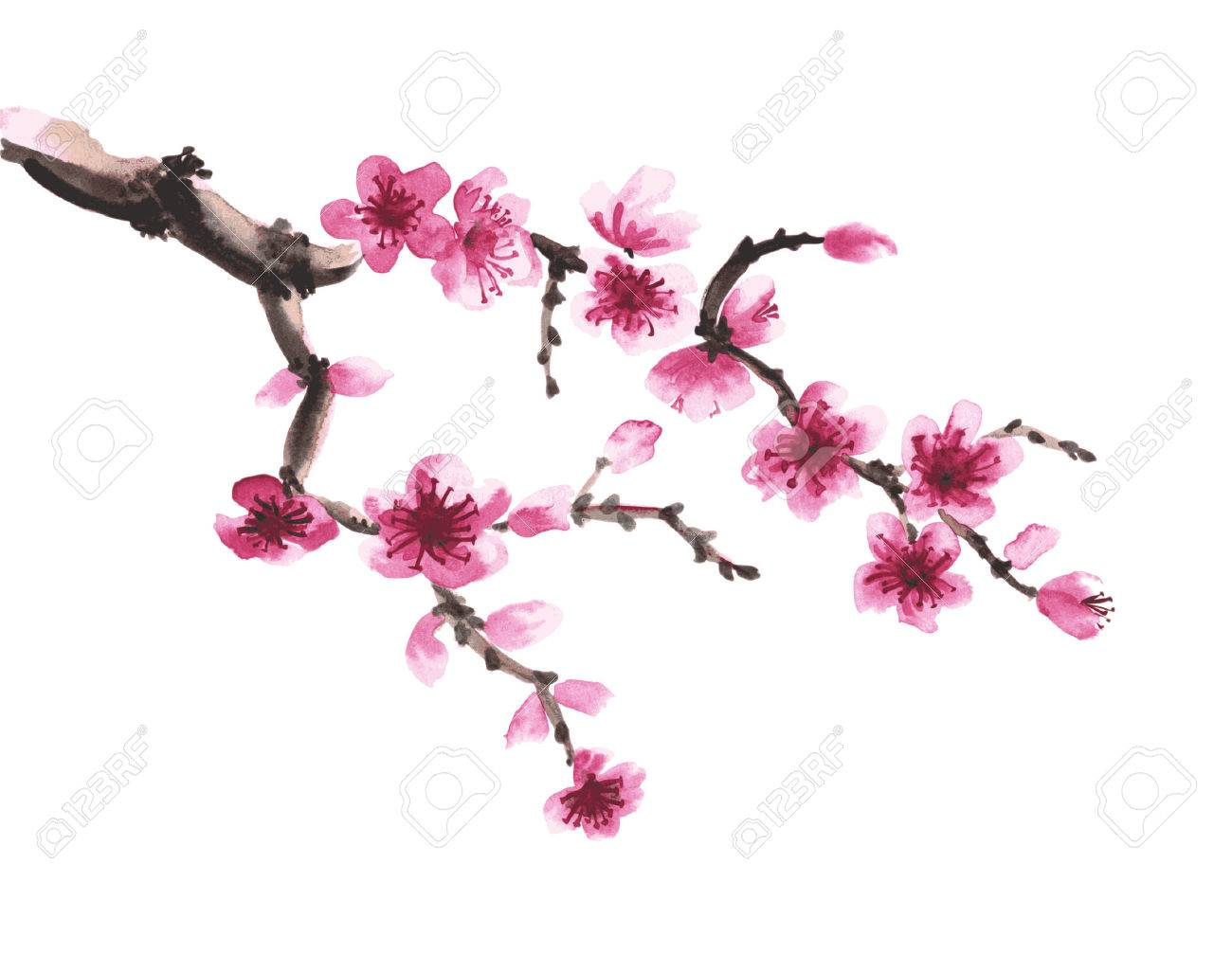 1300x1026 Watercolor Hand Drawn Branch Of Sakura Isolated On White Royalty