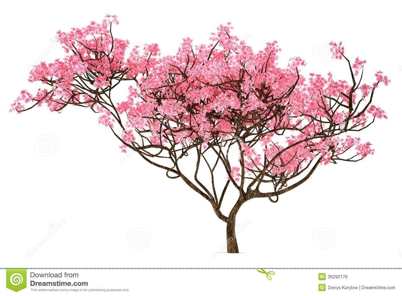 1300x957 Sakura Tree Isolated Royalty Free Stock Photos