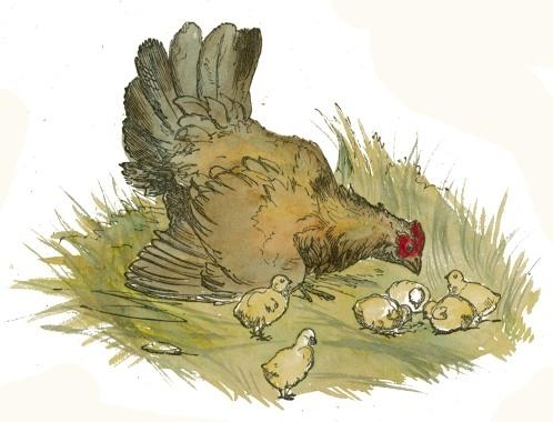498x380 Filehen And Chicks Drawing.jpg
