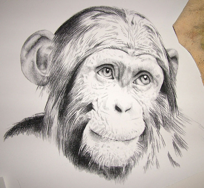 chimp drawing at getdrawings com free for personal use chimp