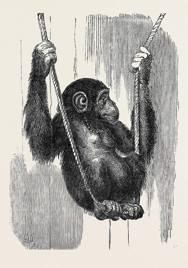 631x900 Chimpanzee, In The Gardens Of The Zoological Society Drawing By