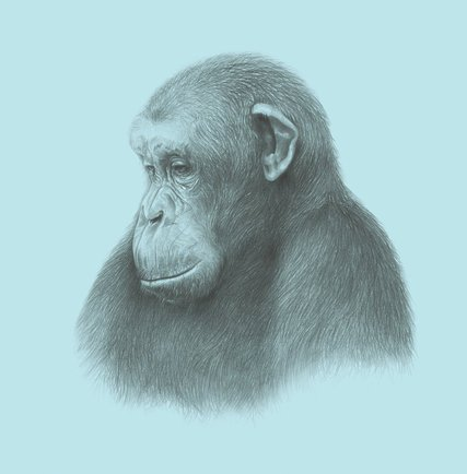 427x434 Want To Understand Mortality Look To The Chimps
