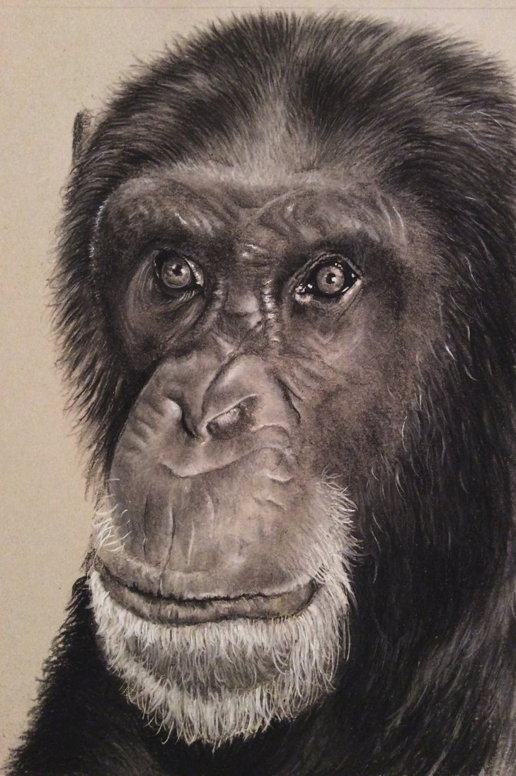 729x1096 Chimpanzee Charcoal Drawing By Donnabe