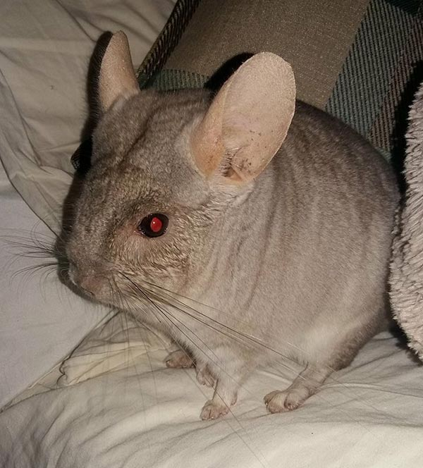 600x664 A Request For A Chinchilla Drawing
