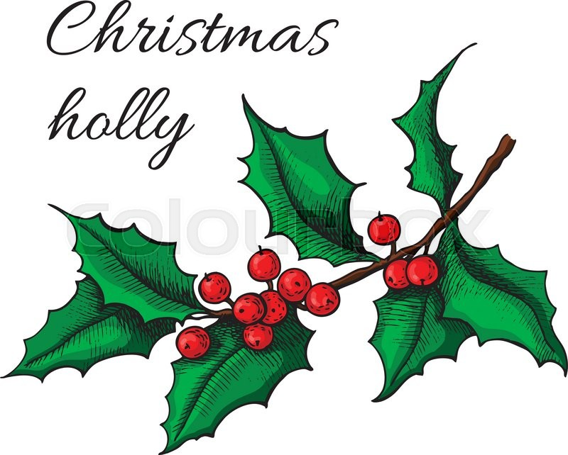 800x642 Hand Drawn Holly. Christmas Mistletoe Plant. Christmas And Holiday