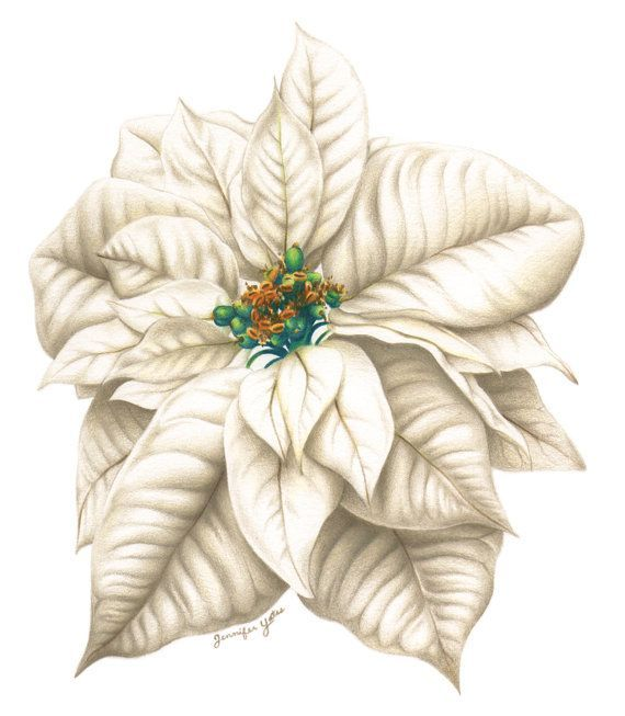 570x653 Framed Print Of Color Pencil Drawing Poinsettia Inspiration Mood