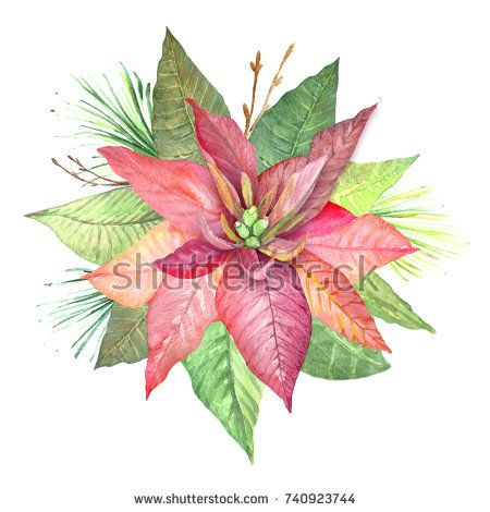 450x470 Watercolor Flowers Poinsettia. Illustration Of Botanical Plants
