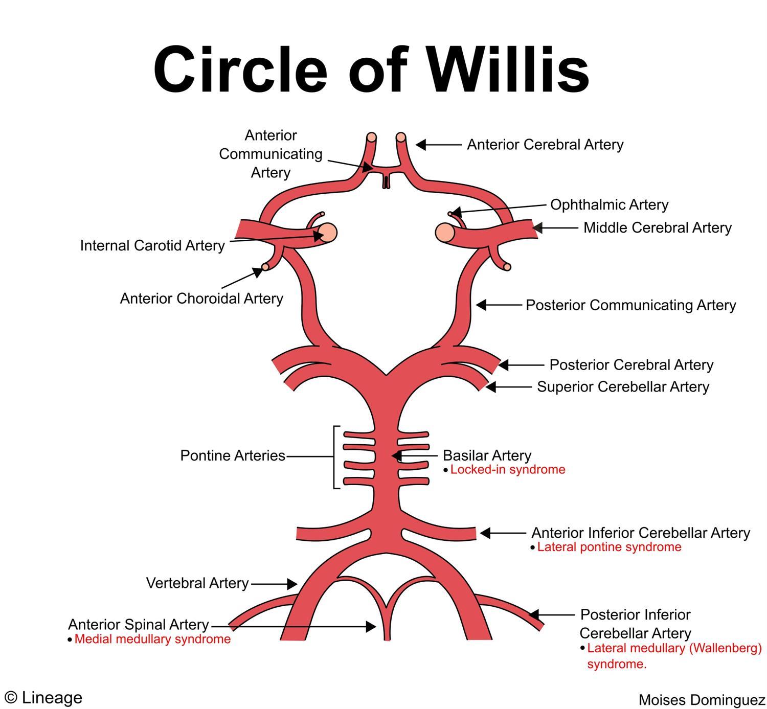 1500x1387 Circle Of Willis
