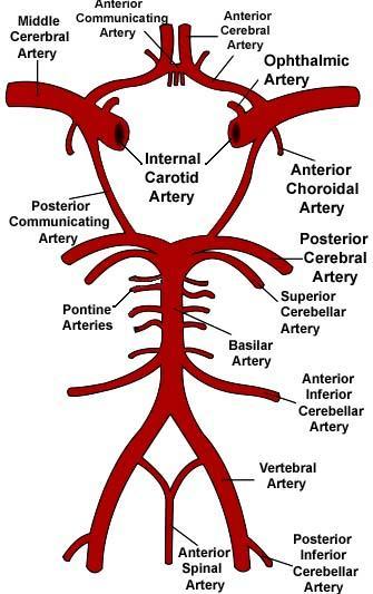 335x533 Circle Of Willis Speech Anatomy, Medical And Medicine