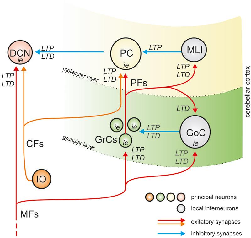 800x758 Organization Of Plasticity In Cerebellar Circuit.