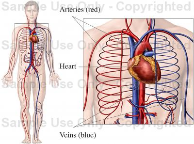 400x297 Circulatory System Diagram