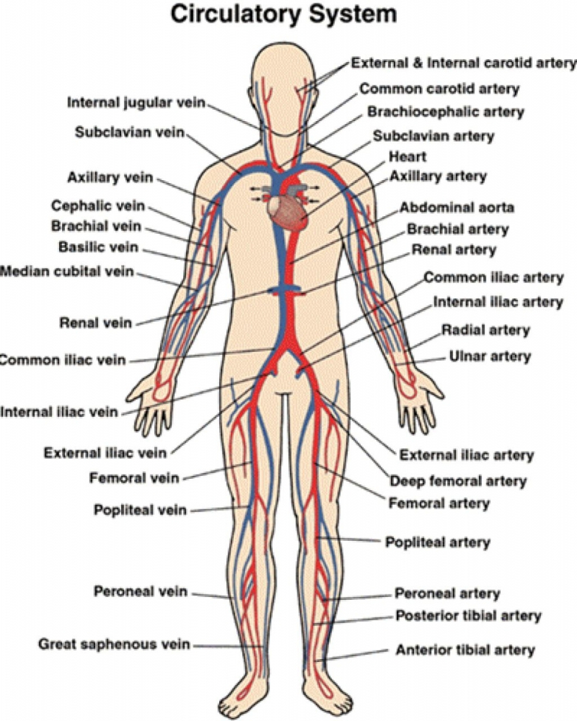819x1024 Circulatory System Drawings Circulatory System Drawing