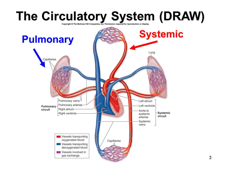 Circulatory System Drawing At Getdrawings Free For Personal