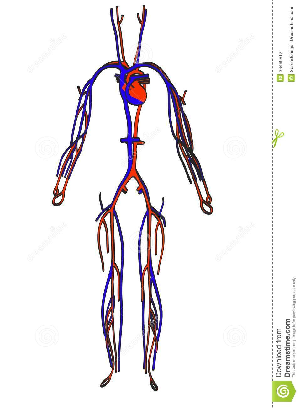 957x1300 Simple Drawing Of Circulatory System Image Of Circulatory System
