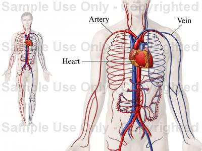 400x300 The Big Parts Of The Circulatory System