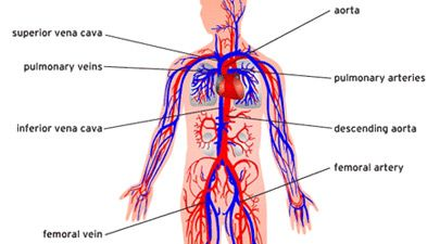 405x225 Human Circulatory System Diagram Blood Function Vein Home Design