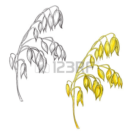 450x450 Hand Drawn Set Of Oat Plant. Sketch. Vector Eps 8 Royalty Free