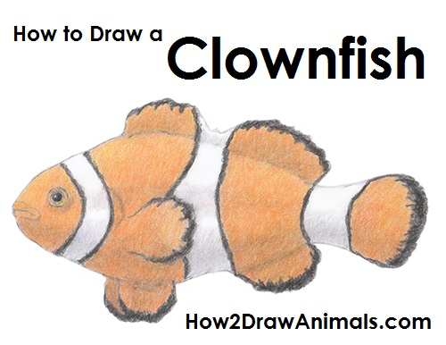 500x386 How To Draw A Clownfish