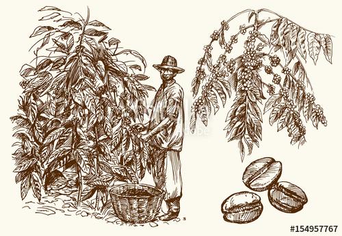 500x345 Coffee Farmer Picking Coffee Beans On Coffee Tree. Stock Image