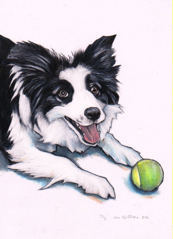 570x789 Border Collie, Custom Drawing, Commission A Border Collie Drawing