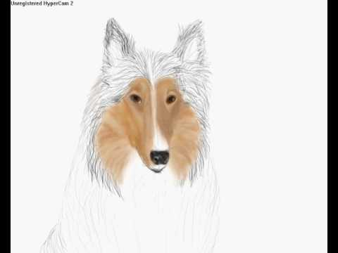 480x360 Drawing A Rough Collie