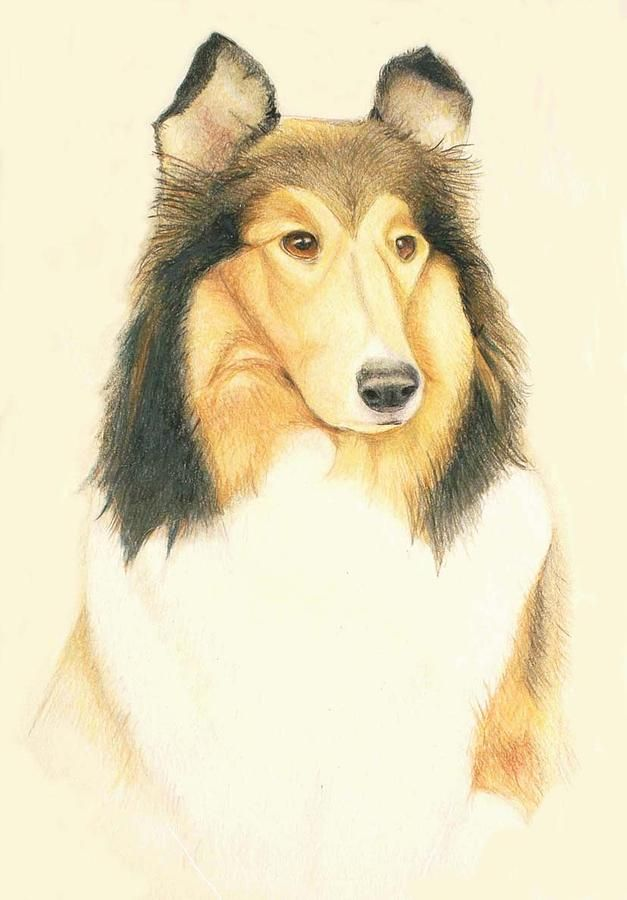 627x900 The Collie Drawing Colored Pencil Art Collie