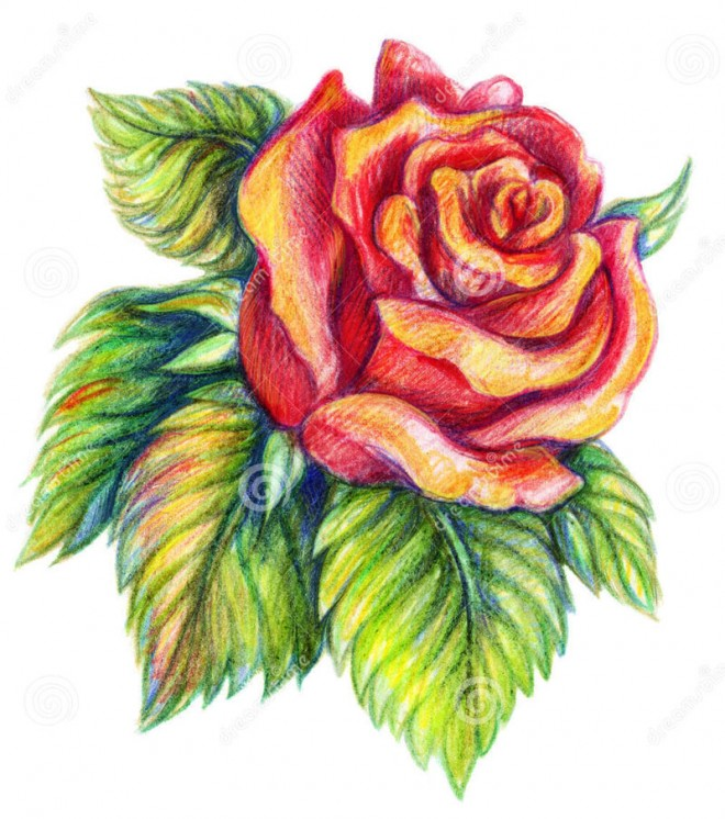660x746 35 Beautiful Flower Drawings And Realistic Color Pencil Drawings