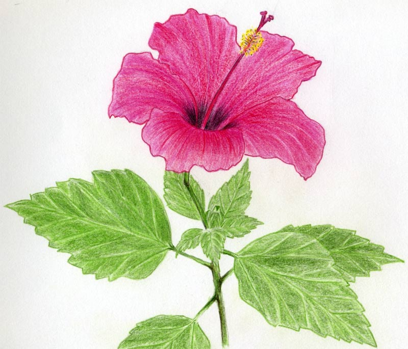 800x685 Hibiscus Flowers Drawing Tutorial