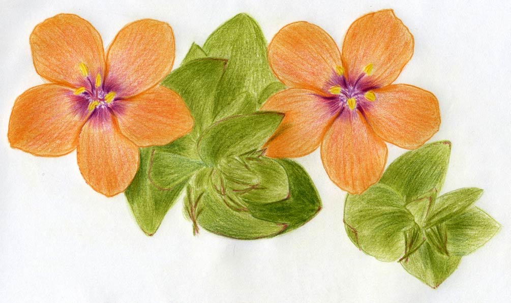 1005x596 Pimpernel Flower Drawing Lesson