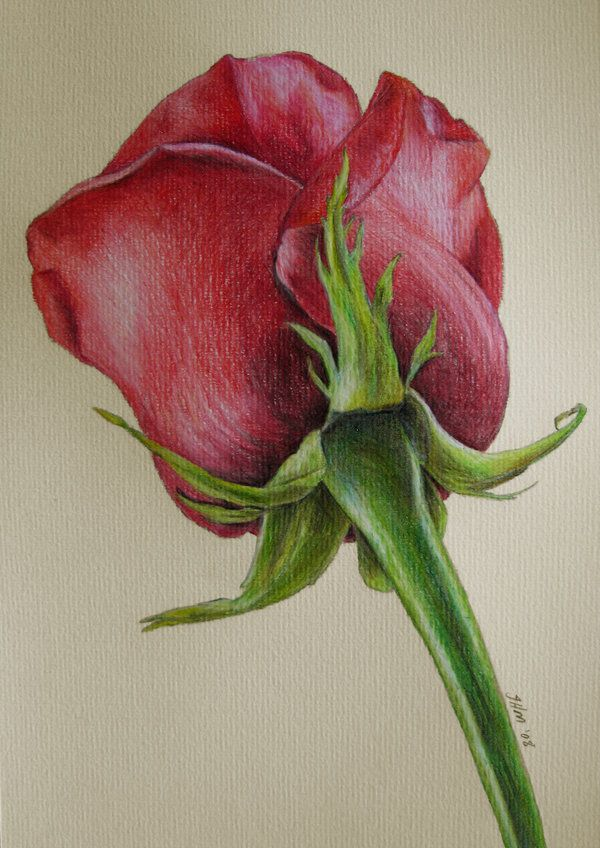 600x848 Red Rose By Fatboygotsick